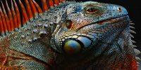 El Dia de la Iguana